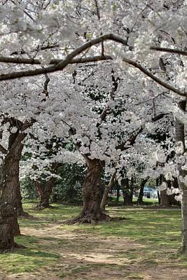 Cherry Blossoms - Washington Dc - 011384 Poster