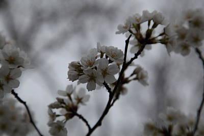 Cherry Blossoms - Washington Dc - 011399 Poster