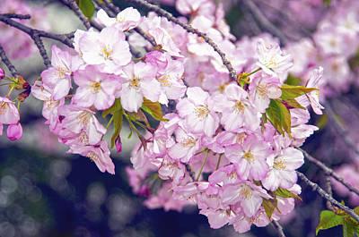 Cherry Blossoms  Washington D.c. Tidal Basin Poster