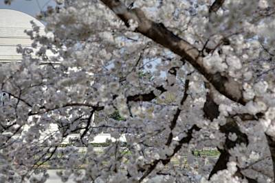 Cherry Blossoms With Jefferson Memorial - Washington Dc - 011333 Poster
