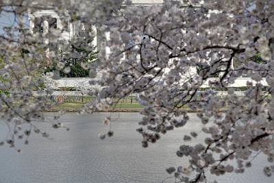 Cherry Blossoms With Jefferson Memorial - Washington Dc - 011337 Poster by DC Photographer