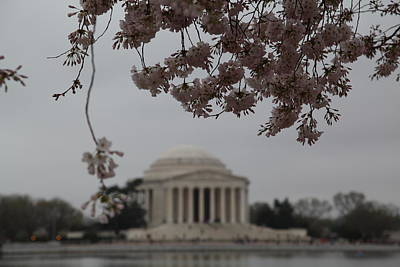 Cherry Blossoms With Jefferson Memorial - Washington Dc - 011349 Poster