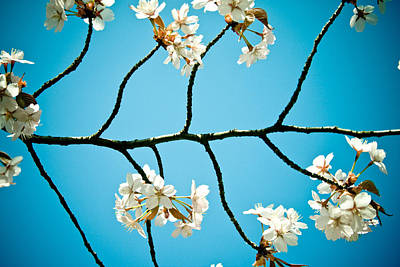 Cherry Blossoms With Sky Poster