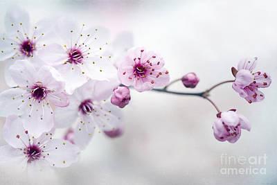 Cherry Plum Blossom Poster
