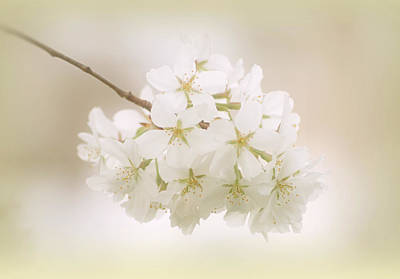 Cherry Tree Blossoms Poster