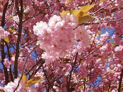 Cherry Trees Blossom Poster