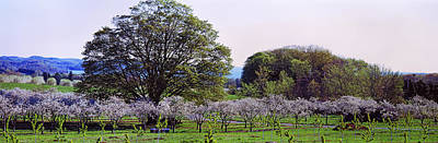 Cherry Trees In An Orchard, Michigan Poster by Panoramic Images