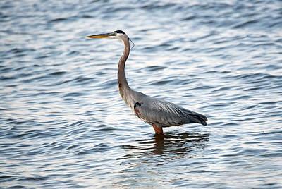 Chesapeake Bay Blue Heron Poster