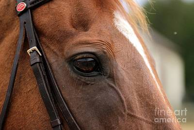Chestnut Horse Eye Poster