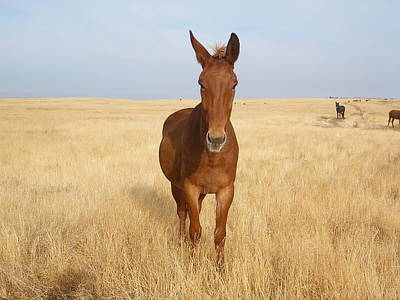 Chestnut Mule In Gold Poster
