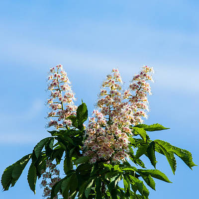 Chestnut Tree Blossoms - Featured 2 Poster