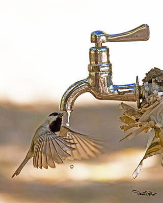 Chickadee At Faucet Poster by David Salter