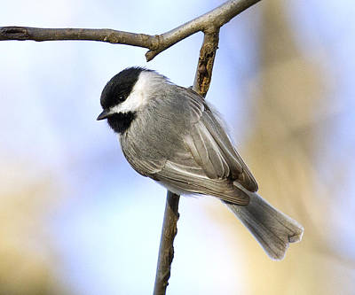 Chickadee Poster by David Lester