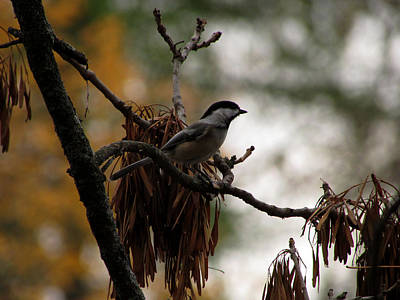 Poster featuring the photograph Chickadee In A Tree by Kimberly Mackowski