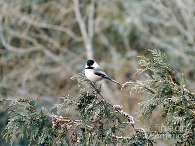 Poster featuring the photograph Chickadee In Cedar by Brenda Brown