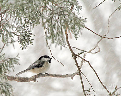 Poster featuring the photograph Chickadee In Snowstorm by Paula Guttilla
