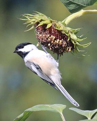 Chickadee On Sunflower Poster