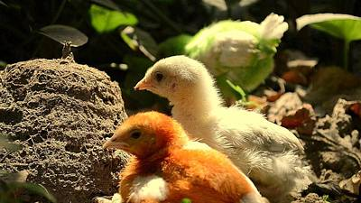 Poster featuring the photograph Cute Chicks by Salman Ravish