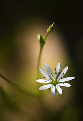 Chickweed Blossom And Bud Poster
