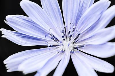 Chicory Flower Macro Poster by Elena Elisseeva