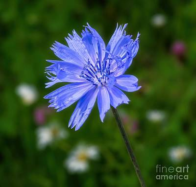 Chicory - Wildflower Poster by Henry Kowalski