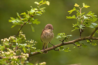 Chiffchaff Poster by Paul Scoullar