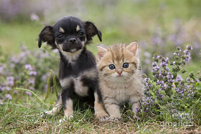 Chihuahua And Kitten Poster by Jean-Michel Labat
