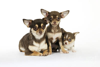 Chihuahua And Puppy Dogs Poster by John Daniels