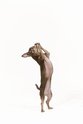 Chihuahua Dancing Poster by Jean-Michel Labat