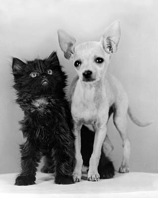Chihuahua Has Kitten Sidekick Poster by Underwood Archives