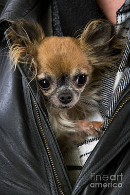 Chihuahua In A Jacket Poster by Jean-Michel Labat