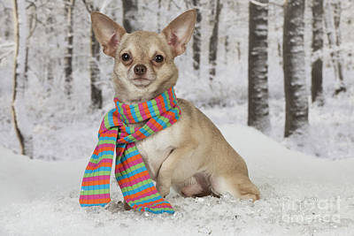Chihuahua In Winter Poster