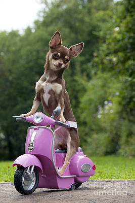 Chihuahua On Scooter Poster by John Daniels