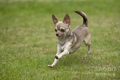 Chihuahua Playing Poster by John Daniels