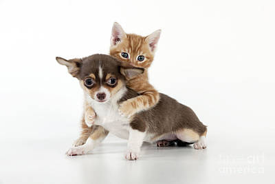 Chihuahua Puppy And Kitten Poster by John Daniels