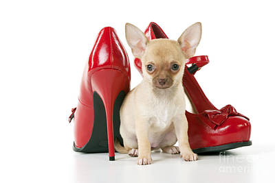 Chihuahua With Shoes Poster by John Daniels