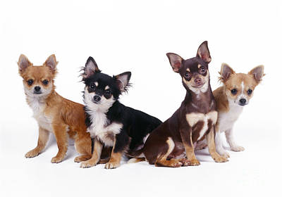Chihuahuas Dogs Poster by John Daniels