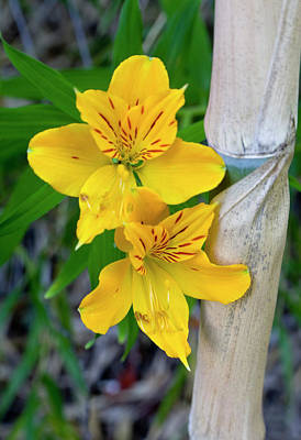 Chile South America Blooming Lilies Poster