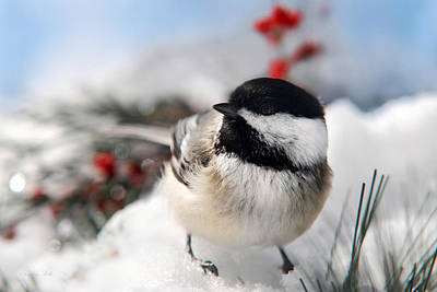 Chilly Chickadee Poster by Christina Rollo