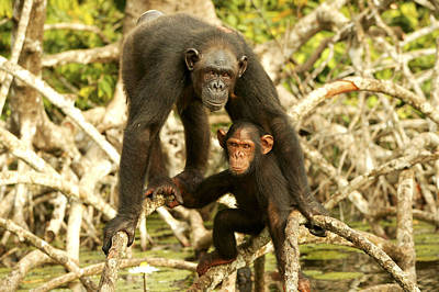 Chimpanzee Adult With Young Poster by Jean-Michel Labat