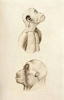 Chimpanzee And Orangutan Poster