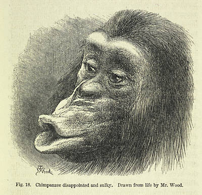Chimpanzee Disappointed And Sulky Poster by British Library