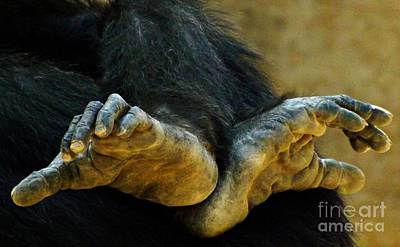 Chimpanzee Feet Poster by Clare Bevan