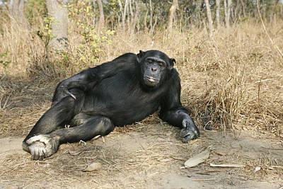 Chimpanzee Resting Poster by M. Watson