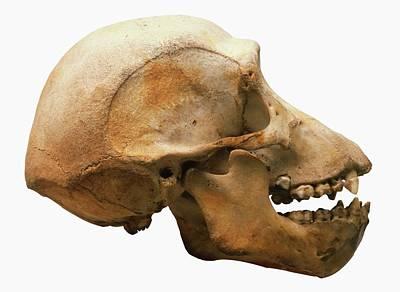 Chimpanzee Skull Poster by Dorling Kindersley/uig