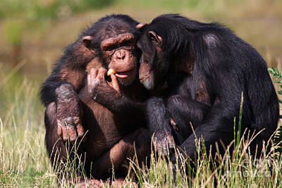 Poster featuring the photograph Chimpanzees Eating A Carrot by Nick  Biemans