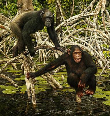Chimpanzees In Mangrove Poster by Owen Bell