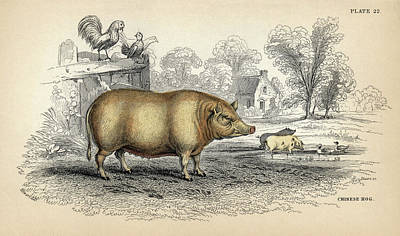 Chinese Hog Poster by Natural History Museum, London