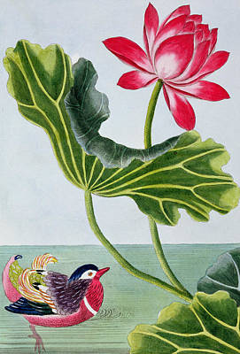 Chinese Red Water Lily Poster by Pierre Joseph Buchoz