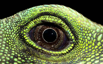 Chinese Water Dragon Eye Poster by Nigel Downer